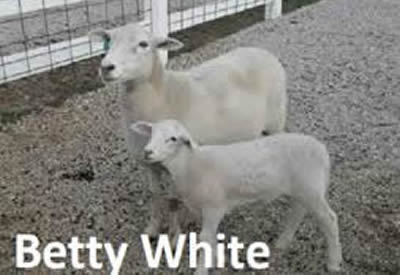 Betty White the Dorper Sheep