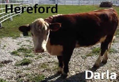 Darla the Hereford Cow